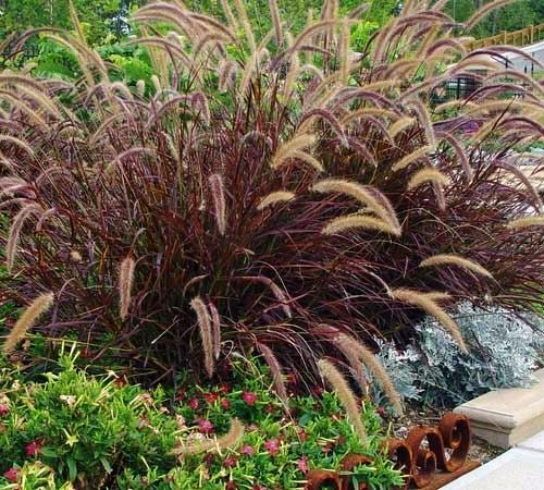 Tropical landscape and design in pictures images for for Hardy fountain grass
