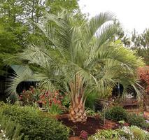 Palm Palms Trees Tree For In Sale Buy Pics Pictures Images